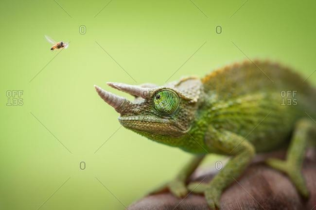 Hoverfly hovering next to a Jackson's chameleon (trioceros jacksonii)