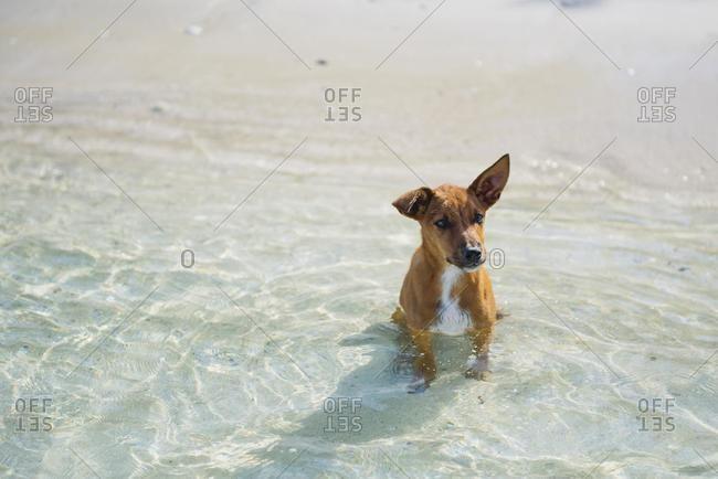 Puppy Dog sitting in ocean, Yasawa Island, Fiji