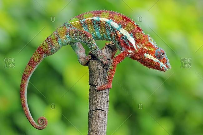 Portrait of a Panther chameleon on a branch, Indonesia