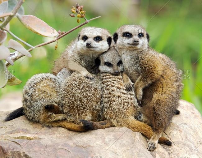 Mob of meerkats huddling together, Limpopo, South Africa