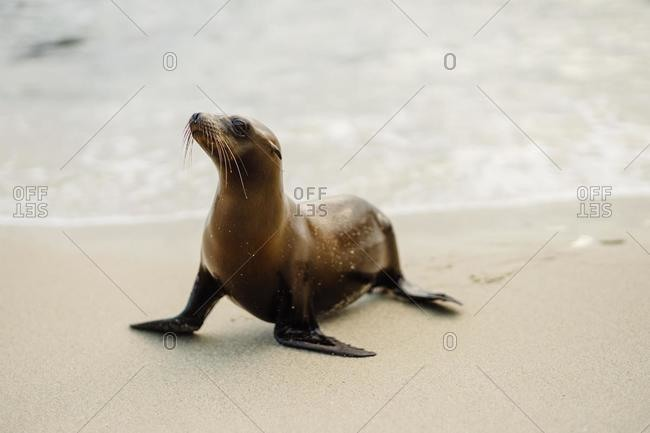 Seal on the beach, La Jolla Cove, San Diego, California, USA