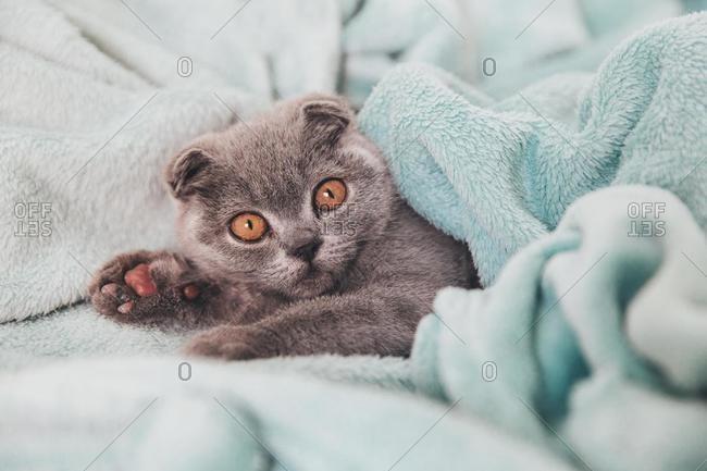 Scottish fold kitten wrapped in a blanket