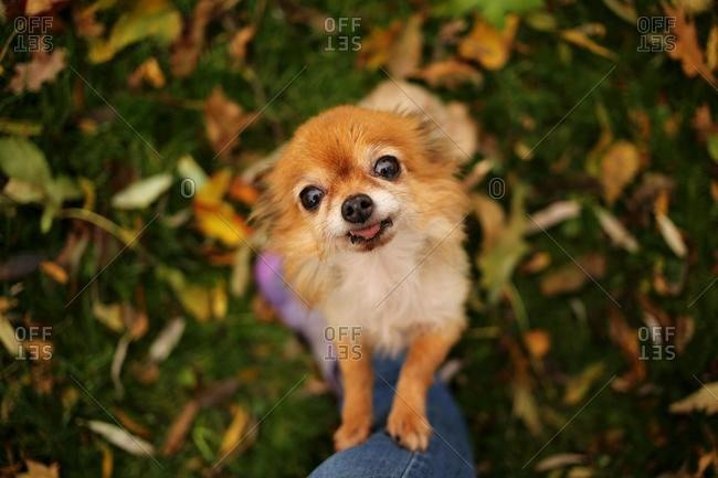 Chihuahua dog standing on its hind legs leaning on a woman's leg