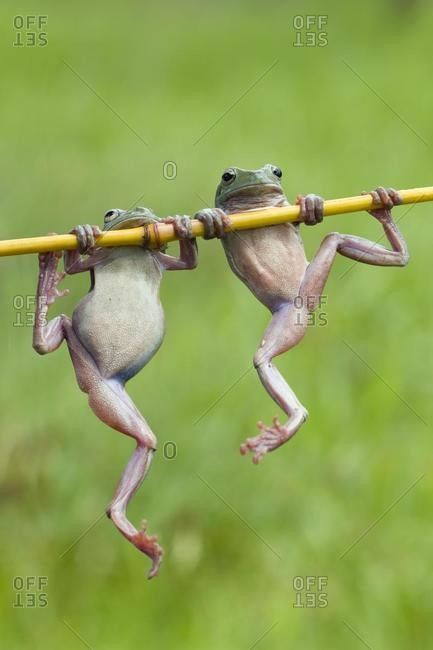 Two dumpy frogs hanging on a plant stem, Indonesia