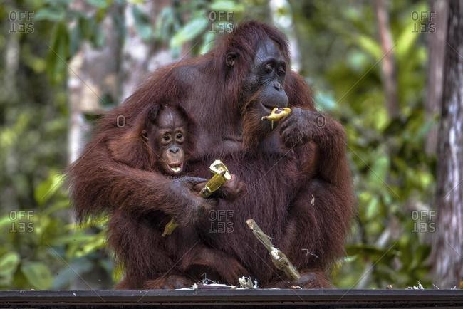 Female orangutan sitting with her infant eating a banana, Tanjung Putting National Park, Central Kalimantan, Borneo, Indonesia