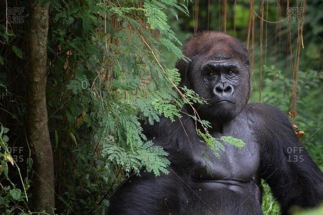 Portrait of a silverback gorilla in the jungle, Rwanda