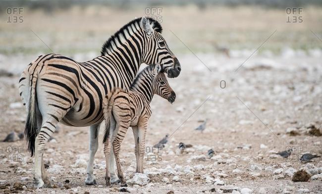 Zebra with zebra foal, Etosha National Park, Namibia
