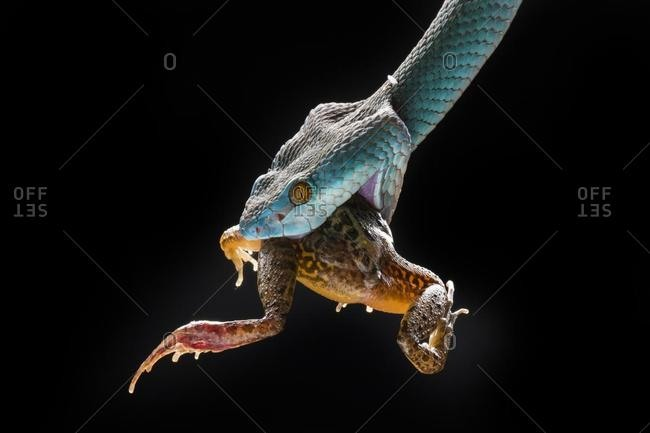 Blue viper snake eating a frog, Indonesia