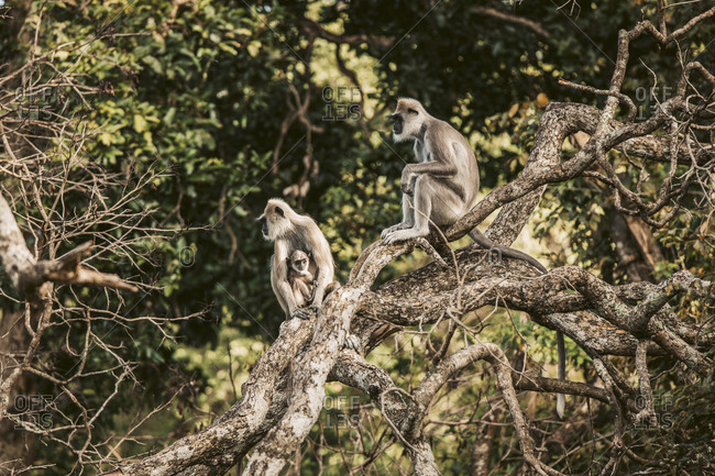 Sri Lanka- Sabaragamuwa Province- Udawalawe- Monkey family sitting together on tree branch