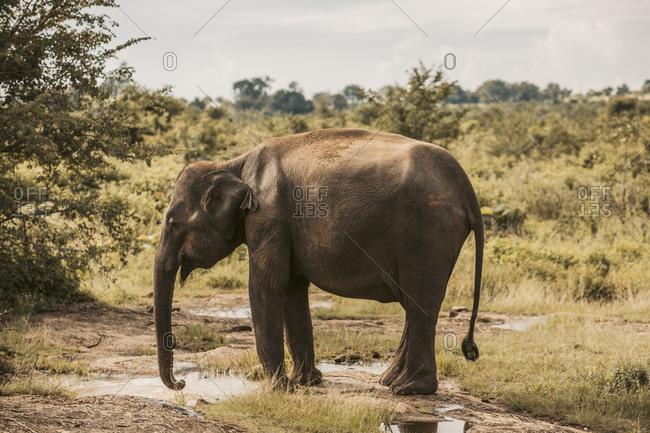 Sri Lanka- Sabaragamuwa Province- Udawalawe- Elephant drinking from puddle of water in Udawalawe National Park
