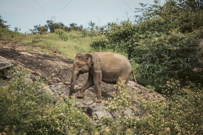 Sri Lanka- Sabaragamuwa Province- Udawalawe- Elephant walking in Udawalawe National Park