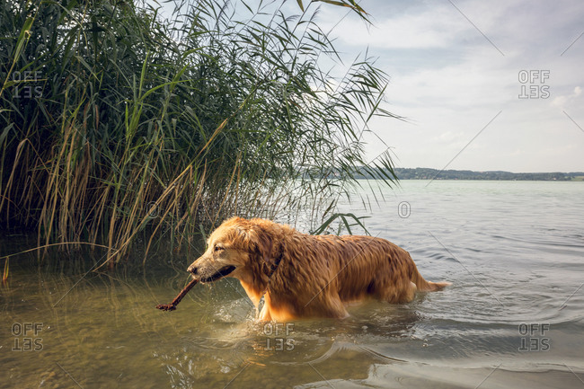 Golden Retriever walking at lakeside