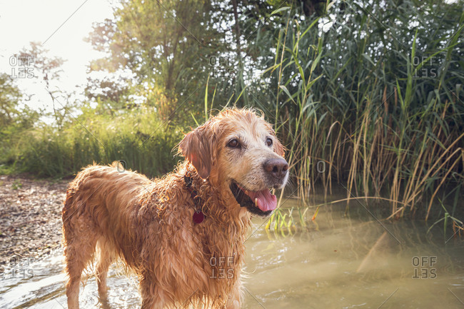 Golden Retriever standing at lakeside
