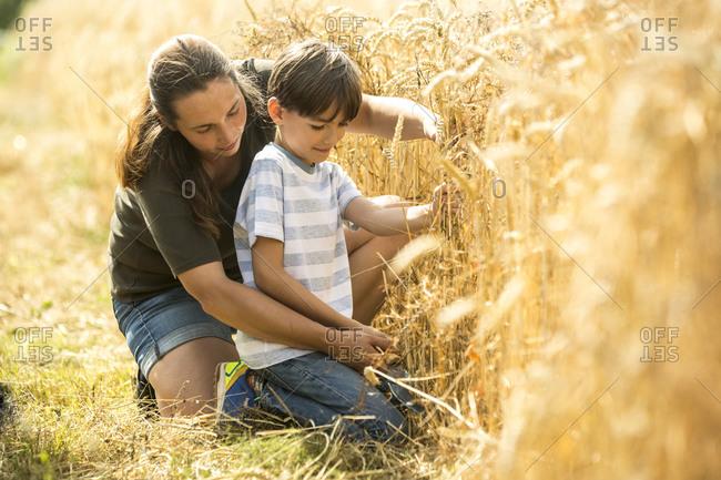 Boy examining wheat field with his teacher
