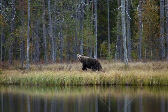 Finland- Kuhmo- Brown bear (Ursus arctos) walking on lakeshore in autumn taiga