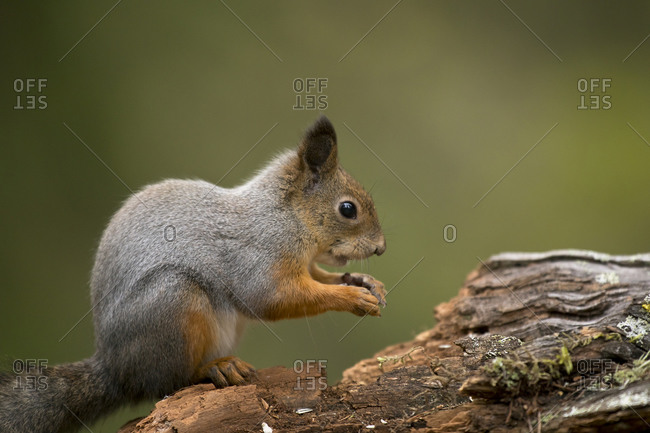 Finland- Kuhmo- Eurasian red squirrel (Sciurus vulgaris) feeding on tree trunk