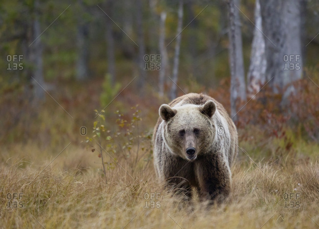 Finland- Kuhmo- Brown bear (Ursus arctos) walking toward camera in autumn taiga