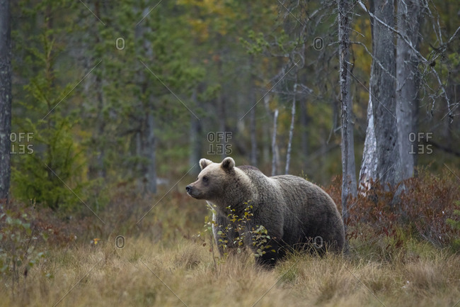 Finland- Kuhmo- Brown bear (Ursus arctos) standing in autumn taiga