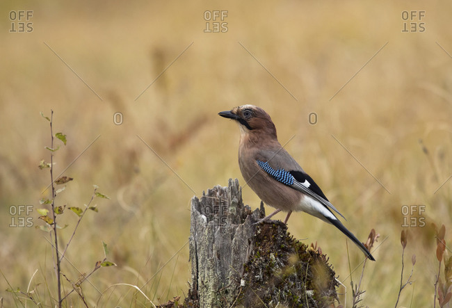 Eurasian jay on tree trunk- Garrulus glandarius- Finland