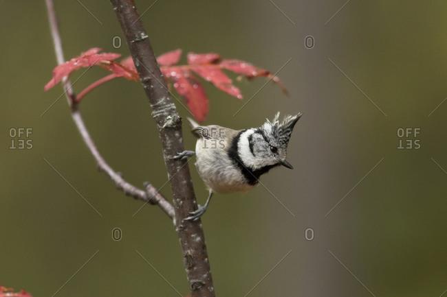 Crested tit- Lophophanes cristatus- on a twig