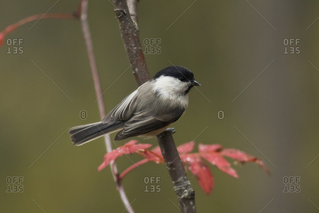 Willow tit- Poecile montanus- perching on a twig
