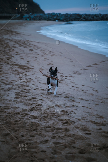 Black and white Bull Terrier running on beach with a stick