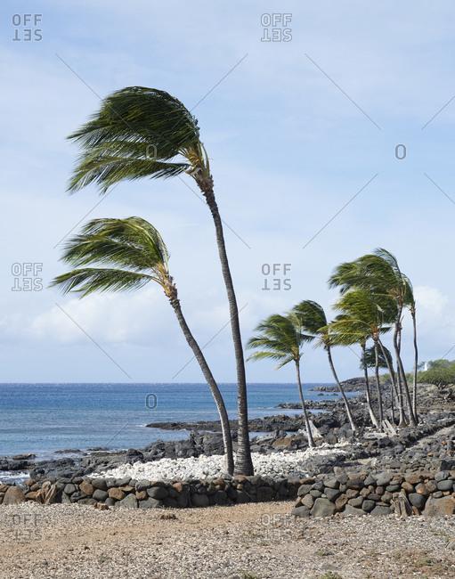 Wind blowing through leaves on palm trees on the Big Island, Kona, Hawaii