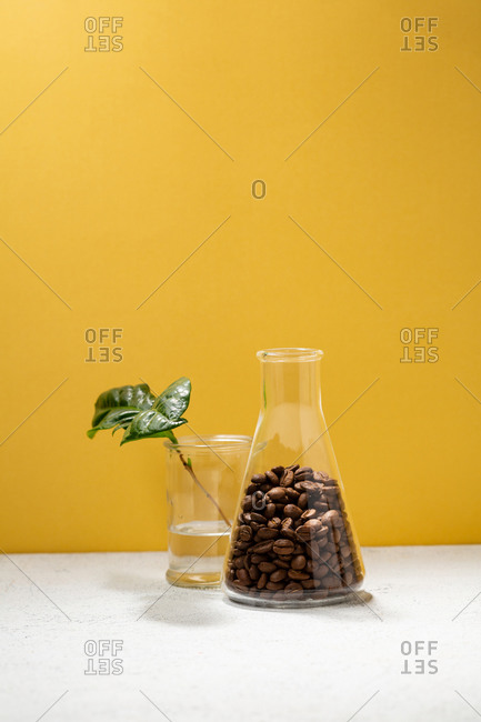 Brown coffee beans in flask by plant
