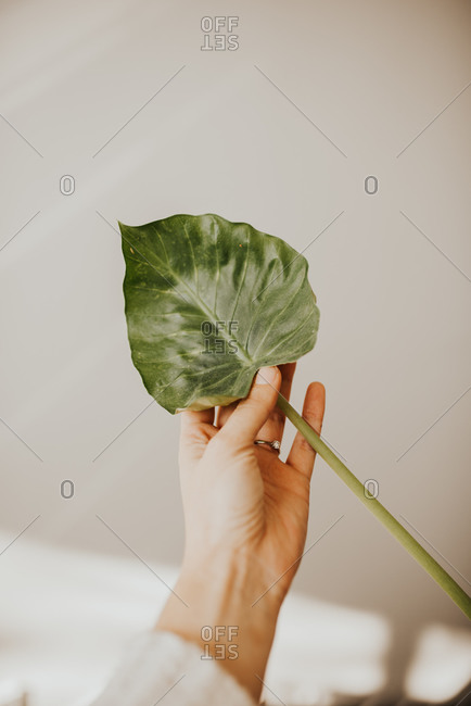 Woman's hand holding a large leaf
