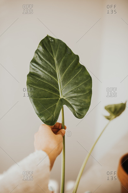 Woman holding a large leaf