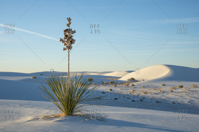 Yucca plant in White Sands National Park near Alamogordo, New Mexico