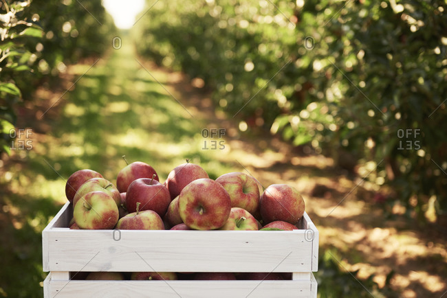 Fresh apples in crate in an apple orchard