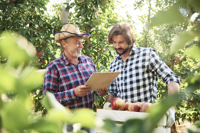 Fruit growers checking quality of apples in their orchard