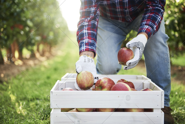 Fruit grower putting harvested apples in crate