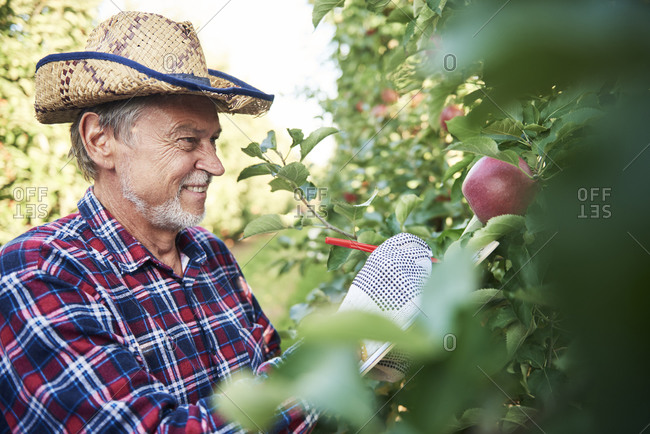 Fruit grower harvesting apples in orchard