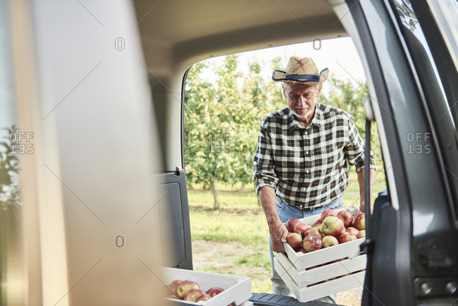 Fruit grower loading car with apple crates