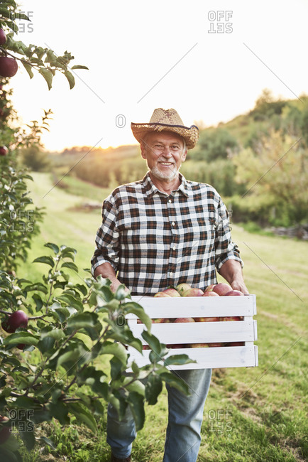 Fruit grower carrying full crate of apples in his orchard