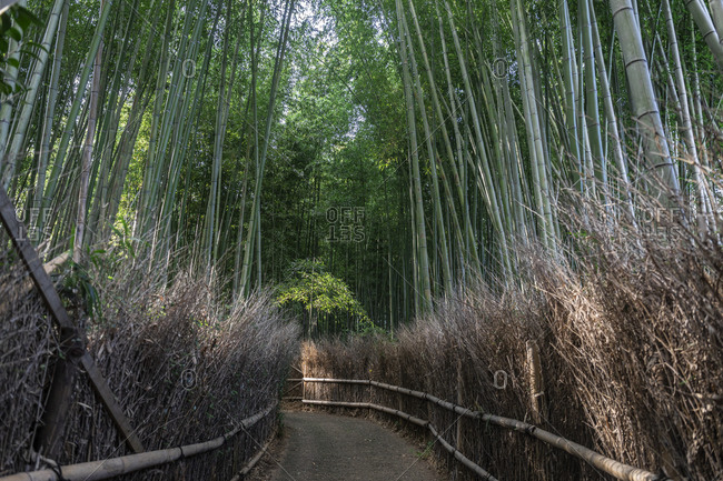 Japan- Tokyo- Empty footpath across bamboo grove