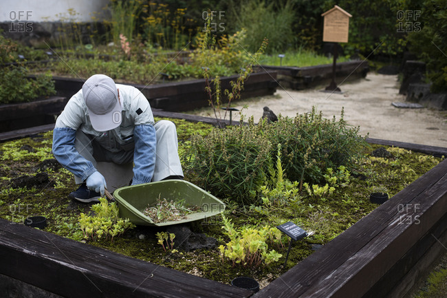 Japan- Kyoto- Gardener cleaning plants in garden