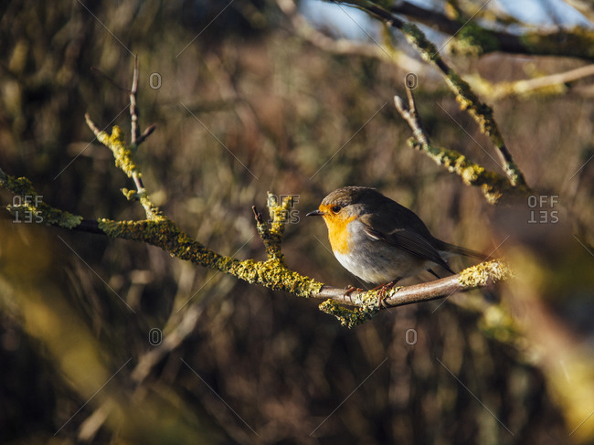 Germany- European robin (Erithacus rubecula) perching on tree branch