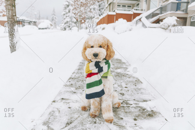 Toy dog with striped scarf sitting on snow-covered pavement- Vancouver- Canada