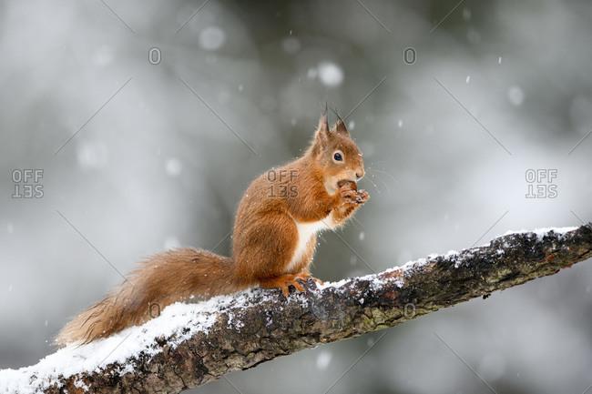 UK- Scotland- Red squirrel (Sciurus vulgaris) feeding on tree branch in winter