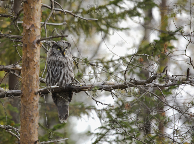 Finland- Kuhmo- North Karelia- Kainuu- Great grey owl (Strix nebulosa) perching on tree branch