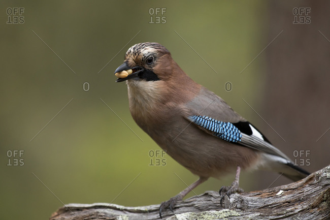 Finland- Kuhmo- North Karelia- Kainuu- Eurasian jay (Garrulus glandarius) with seed in beak