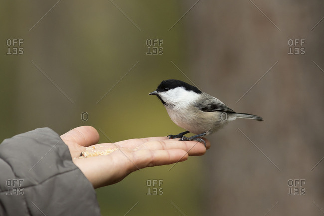 Finland- Kuhmo- North Karelia- Kainuu- Hand with Willow tit (Poecile montanus)