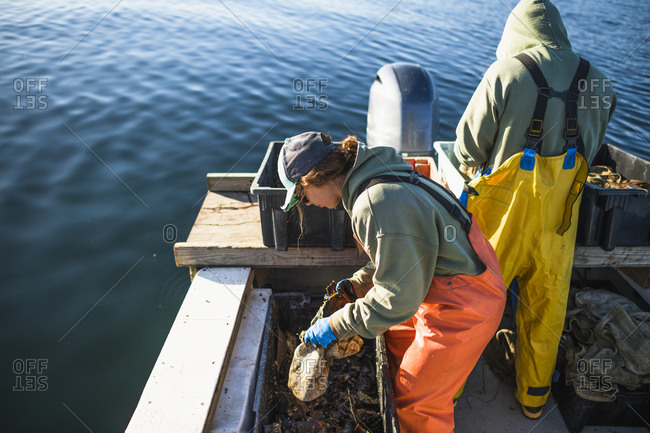 Aquaculture shellfishing for conch on Narragansett Bay in Rhode Island
