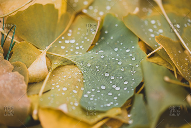 Close up of water droplets on green and yellow leaves on the ground.