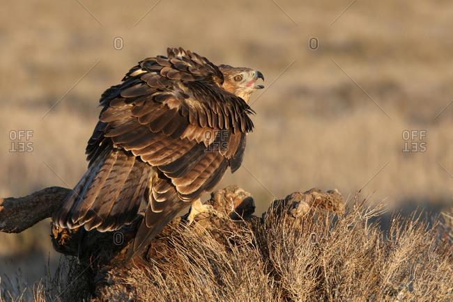 2 years old female of Bonelli's Eagle, Aquila fasciata