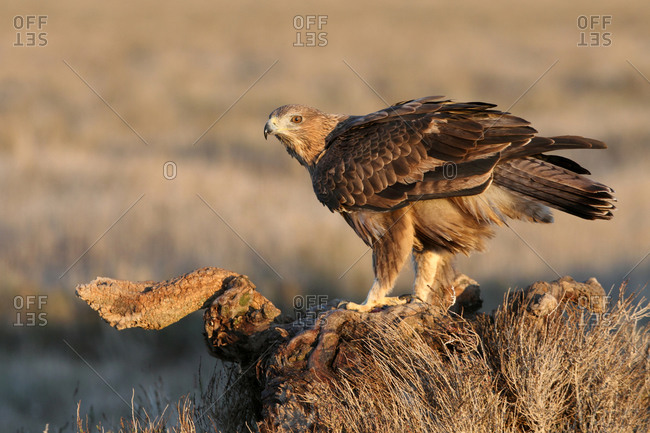 2 years old female of Bonelli's Eagle, Aquila fasciata