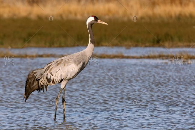Common crane (Grus grus) standing in a river